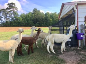 Cover photo for Opportunities in Alternative Livestock: A Peek Into Alpacas at Cherry Run, LLC