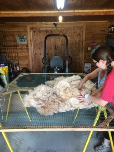 Image of alpaca fleece