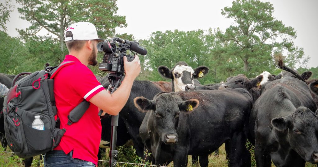 Man filming cows